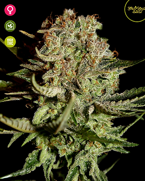Super Bud Feminised Seeds from Greenhouse Seed Co.