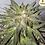Thumbnail: Critical Cure CBD Feminised Seeds from Barney's Farm Seeds