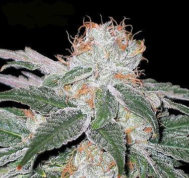 White Widow Feminised Seeds from Seedsman