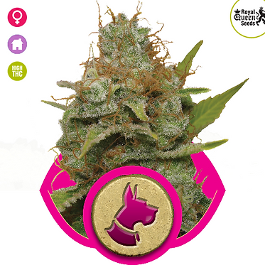 Kali Dog Feminised Seeds from Royal Queen Seeds