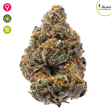 The New Feminised Seeds from Humboldt Seed Organization