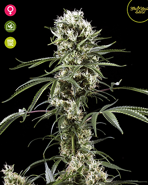 Super Lemon Haze Feminised Seeds from Greenhouse Seed Co.