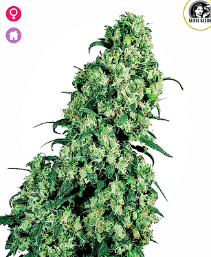 Sensi Skunk #1  Feminised Seeds from Sensi Seeds