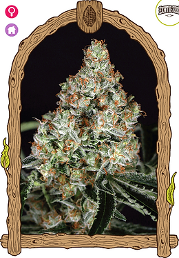 Zkittalicious Feminised Seeds from Exotic Seeds
