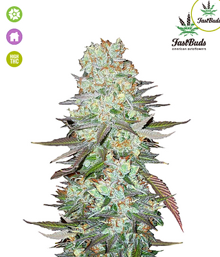 G14 Auto Feminised Seeds from FastBuds Seeds