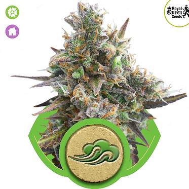 Royal Bluematic Auto Feminised Seeds from Royal Queen Seeds