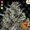Thumbnail: Glookies Feminised Seeds from Barney's Farm Seeds