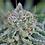 Thumbnail: Peyote Wi-Fi Feminised Seeds from Seedsman