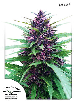 Shaman Feminised Seeds from Dutch Passion