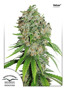 Outlaw Amnesia Feminised Seeds from Dutch Passion