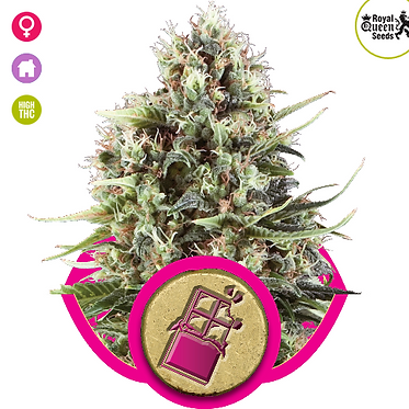 Chocolate Haze Feminised Seeds from Royal Queen Seeds