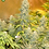 Thumbnail: Double Dutch Feminised Seeds - 6 from Serious Seeds