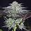 Thumbnail: Peyote Gorilla Feminised Seeds from Seedsman Seeds