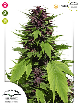 Frisian Duck Feminised Seeds from Dutch Passion