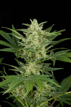 Critical Jack Auto Feminised Seeds from Dinafem Seeds