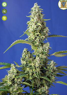 Gorilla Girl XL Auto Feminised Seeds from Sweet Seeds