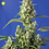 Thumbnail: Gorilla Girl XL Auto Feminised Seeds from Sweet Seeds