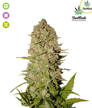 Pineapple Express Auto Feminised Seeds from FastBuds Seeds