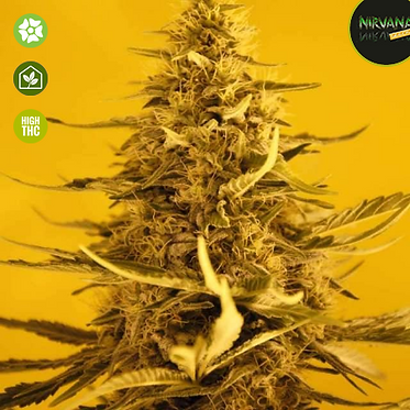 White Widow Auto - 5 Feminised seeds from Nirvana Seeds