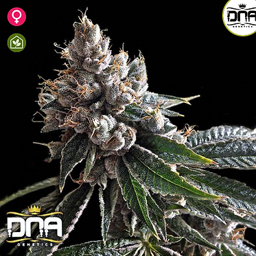 Golden Lemons Feminised seeds from DNA Genetics