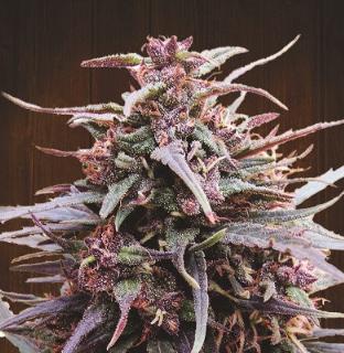 Purple Haze x Malawi Feminised Seeds from Ace Seeds