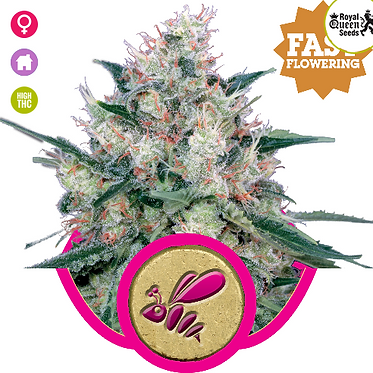 Honey Cream FAST Version Feminised Seeds from Royal Queen Seeds