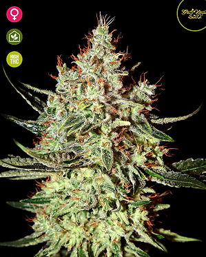 K - Train Feminised Seeds from Greenhouse Seed Co.