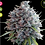 Thumbnail: Killer A5 Haze Feminised Seeds from Ace Seeds