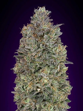 Critical Purple Kush Feminised Seeds from Advanced Seeds