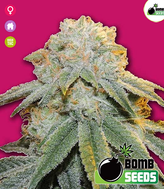 Bubble Bomb Feminised Seeds from Bomb Seeds