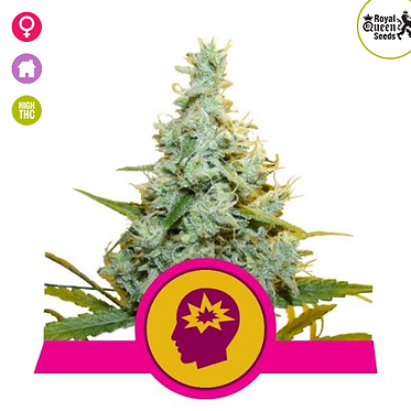 AMG (Amnesia Mac Ganja) Feminised Seeds from Royal Queen Seeds