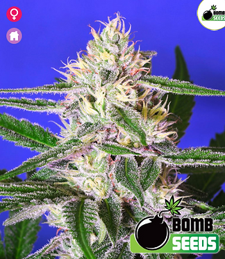Edam Bomb Feminised Seeds from Bomb Seeds