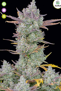 Gorilla Cookies Auto Feminised Seeds from FastBuds