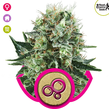 Bubble Kush Feminised Seeds from Royal Queen Seeds
