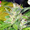 Thumbnail: Blueberry Express Feminised Seeds from Kaliman Seeds