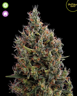 Big Bang - Auto Feminised Seeds from Greenhouse Seed Co.