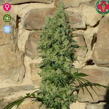 Orinoco (OR - 1)  Feminised seeds from Medical Marijuana Genetics