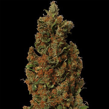 Red Diesel Feminised Seeds from Barney's Farm Seeds