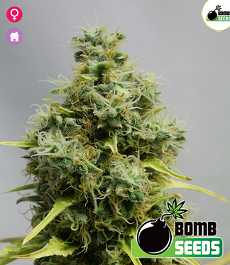 Big Bomb Feminised Seeds from Bomb Seeds