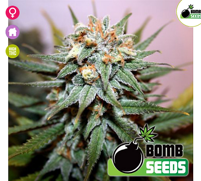 Hash Bomb Feminised Seeds from Bomb Seeds