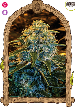 Z & Z Feminised Seeds from Exotic Seeds