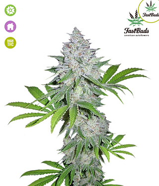 Californian Snow Auto Feminised Seeds from FastBuds Seeds