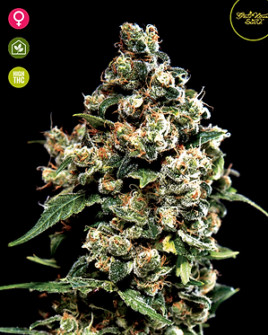 Jack Herer Feminised Seeds from Greenhouse Seed Co.