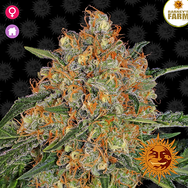 Orange Sherbert Feminised Seeds from Barney's Farm Seeds