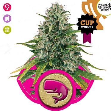 Royal Moby Feminised Seeds from Royal Queen Seeds