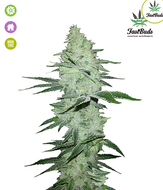 Six Shooter Auto Feminised Seeds from FastBuds Seeds