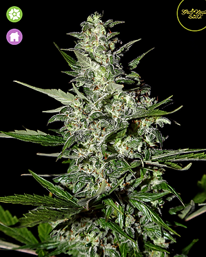 Super Critical - Auto Feminised Seeds from Greenhouse Seed Co.