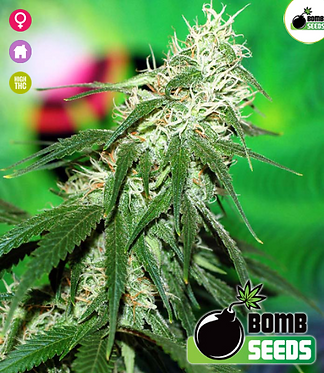 Buzz Bomb Feminised Seeds from Bomb Seeds