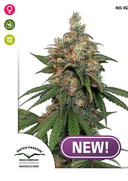 HiFi 4G Feminised Seeds from Dutch Passion