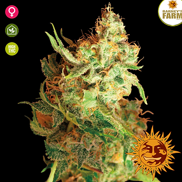 Red Dragon Feminised Seeds from Barney's Farm Seeds